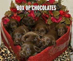 box, chocolate, and dogs image