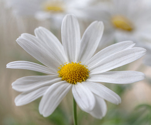daisy, flowers, and white image