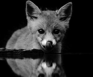 black and white, foxes, and nature image