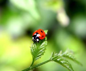 ladybug, animal, and nature image
