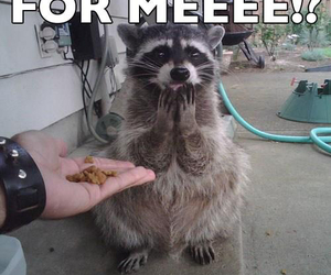 funny and raccoon image