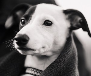 animal, black and white, and dog image