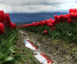 beautiful, poppies, and flowers image