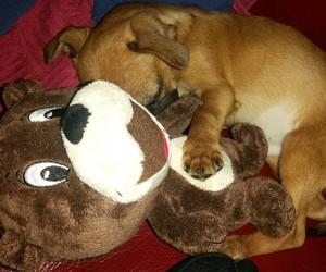 sweet pet dog chiuahua image