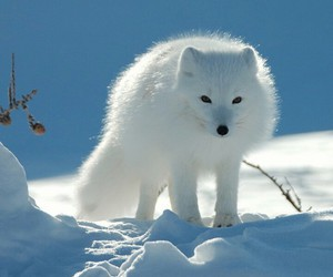 snow, white, and animals image