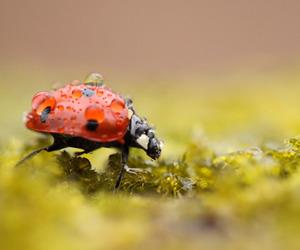 ladybug and dew rain image
