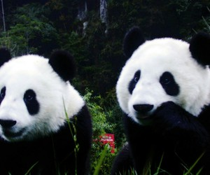 adorable, cute animals, and panda image