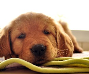 adorable, lovely, and puppy image