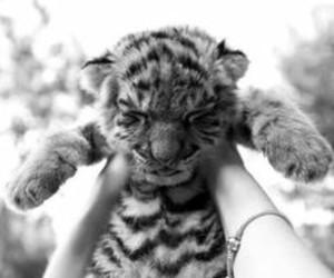 gray, tiger, and cute image