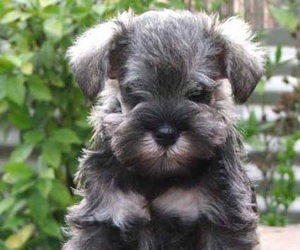 puppy and schnauzer image