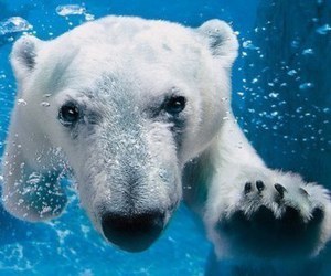 animal, Polar Bear, and cute image