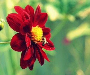 beautiful, bee, and red image