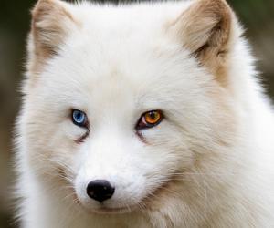 animal, eyes, and fox image