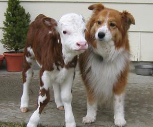 dog, animal, and calf image
