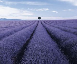 tree, lavender, and purple image