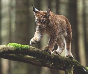 animal, beautiful, and lince image