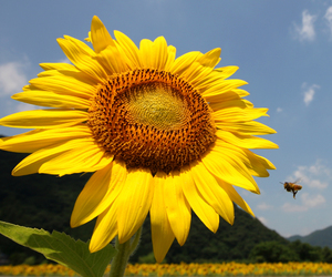 bee, summer, and sunflower image