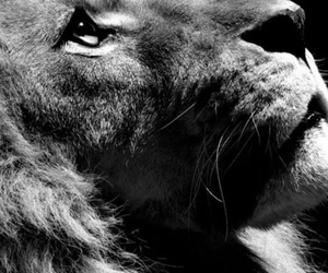 lion, wallpaper, and love image