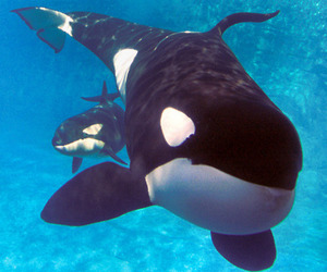 killer whale, whales, and lovely image