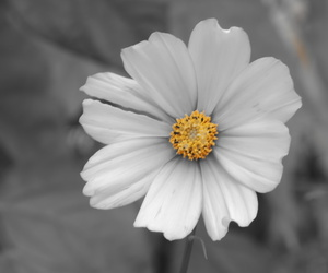 Aster, cosmos, and flower image