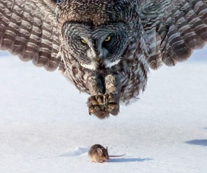 owl, mouse, and animal image