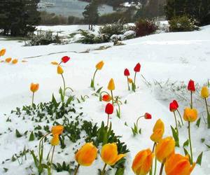 flowers, snow, and tulips image