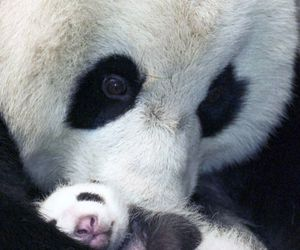 panda, bear, and animal image