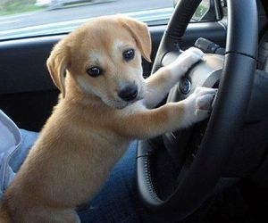 dog, golden retriever, and driving image