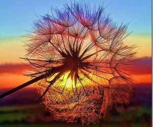colorful, dandelion, and flower image
