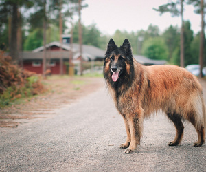 belgian, dog, and dogs image