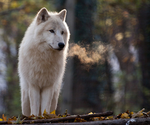 wolf, Howl, and white image