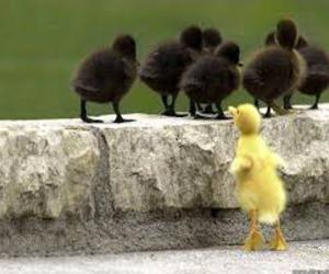 animals, ducklings, and cute image