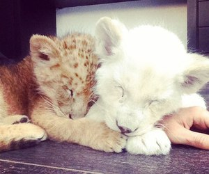 cute and lion image