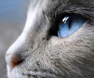 cat, blue, and eyes image