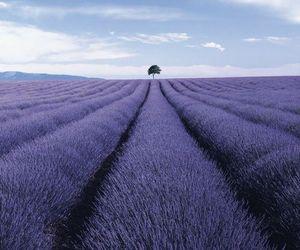 tree, lavender, and purple image