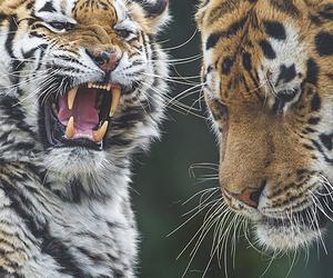 animal, tiger, and wild image