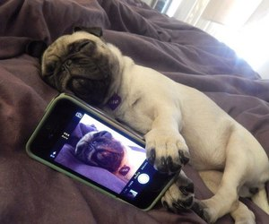 dog, selfie, and pug image
