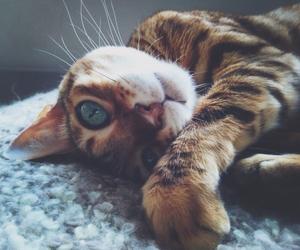 amazing, bengal, and cat image