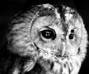 black and white and owl image