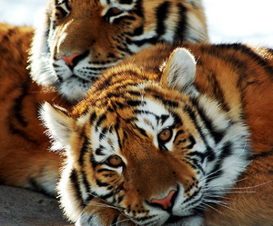animal, tigers, and tiger image