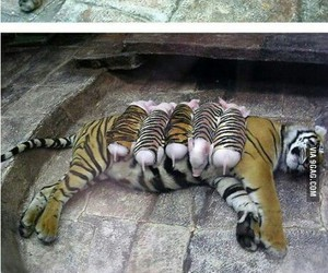 pig, pigs, and tiger image