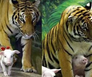 pig, tiger, and love image