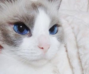 cat, beautiful, and blue image