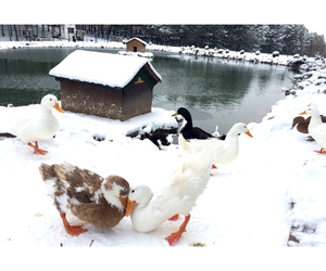 duck, snow, and winter image