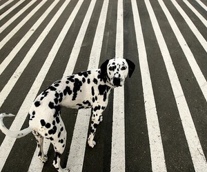 dog, dalmatian, and black and white image