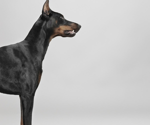 doberman and black image