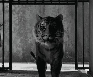 animal and tiger image
