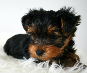 dog, yorkshire terrier, and fluffy image