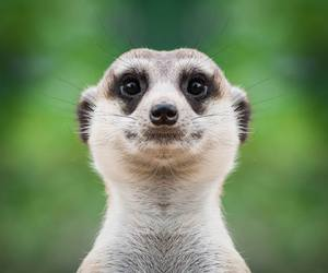 animals, funny, and suricate image