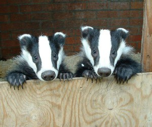 baby animals and badgers image